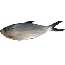 99.00212 - FROZEN MILKFISH (800up) 40lbs
